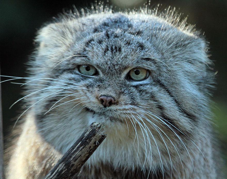 世界で最も表現力豊かな猫 - マヌルネコ ①